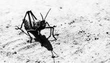 Toxic milkweed grasshopper