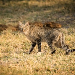 African wildcat, in golden light