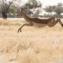 Pronking impala