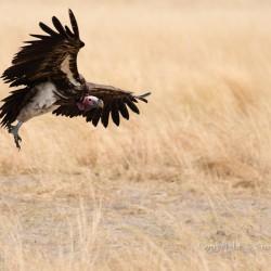 Lappet-faced vulture landing