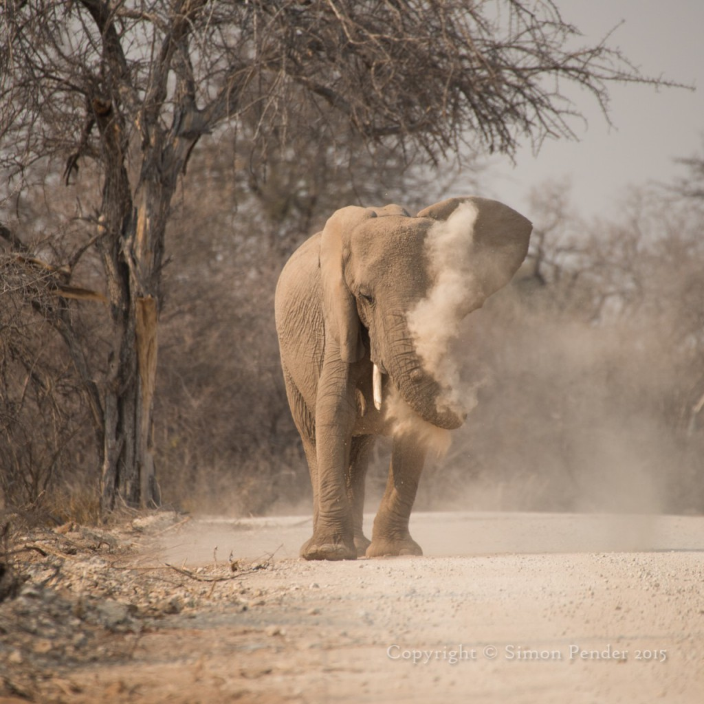 Elephant spraying dust