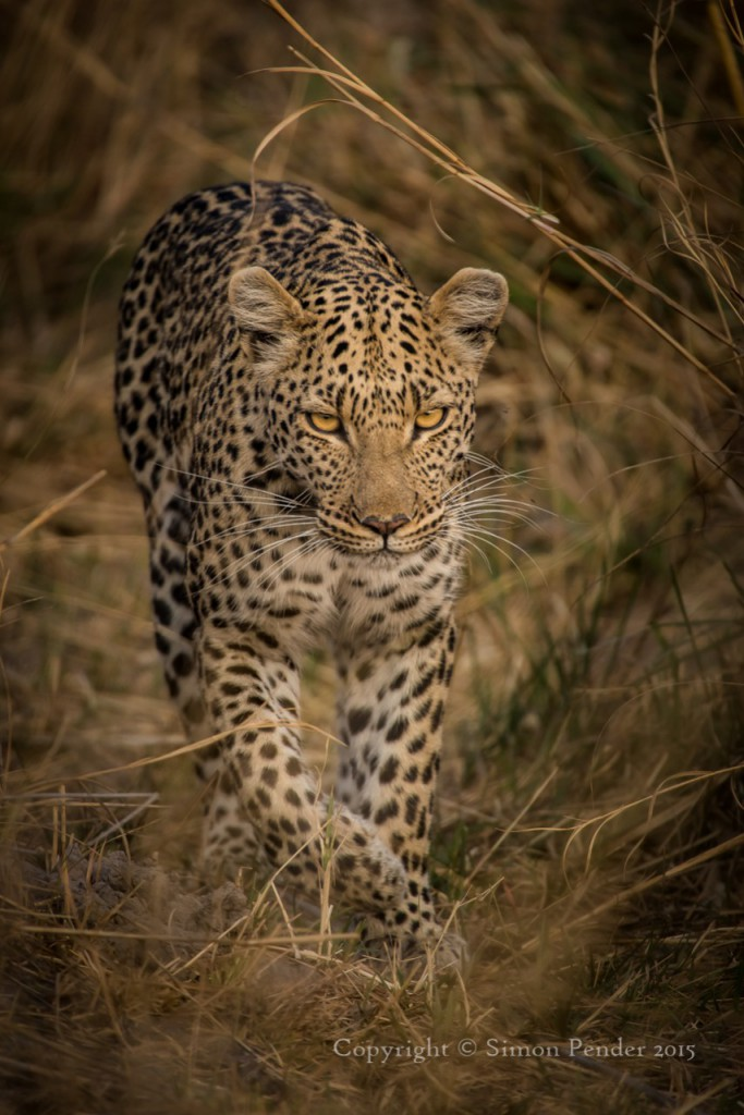 Leopard stalking through grass