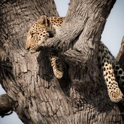 Leopard in tree