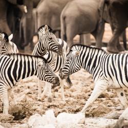 Zebra and Elephant