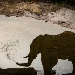 Drinking desert elephant