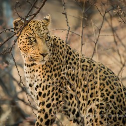 Leopard seen through branches